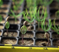 Close-up_growth_chamber_seedlings