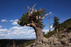 Limber_pine_on_rocky_outcrop.jpg